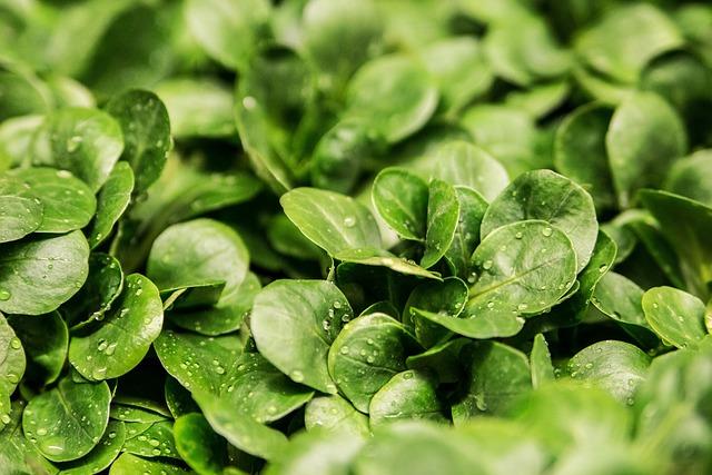 Salad, Lamb's Lettuce, Lettuce Leaves, Green, Frisch