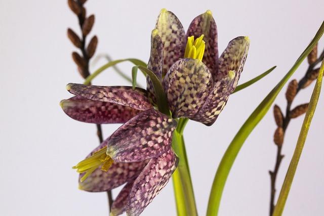 Fritillaria Meleagris, Fritillaria Meleagris, Nature
