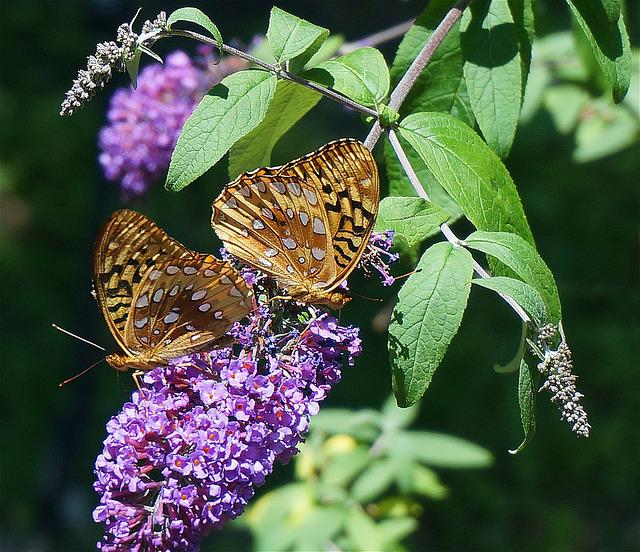 Fritillary Butterfly, Butterfly, Nature, Insect