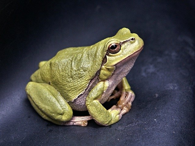 Frog, Macro, Amphibian, Green, Tree-frog, Reptile