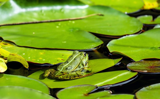 Frog, Water Frog, Animal, Green, Nuphar Pumila Leaf