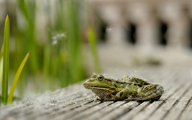 Frog, Sit, Animal, Poplar Seeds, Pond, Nature, Garden