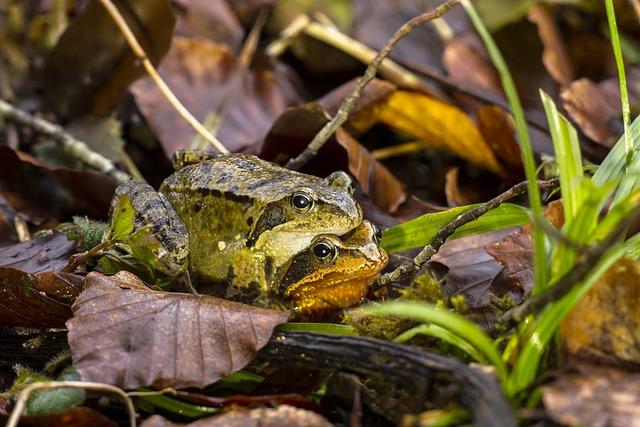 Frog, Pairing, Nature, Animal, Animal World, Amphibian