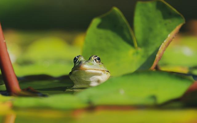 Frog, Water Frog, Frog Eyes, Animal, Green, Water