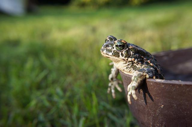 Animal, Frog, Toad, Amphibians, Nature