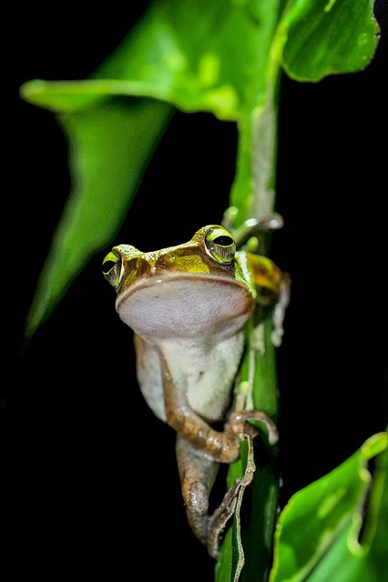 Tree Frog, Frog, Night, Fuyang Park, Plant