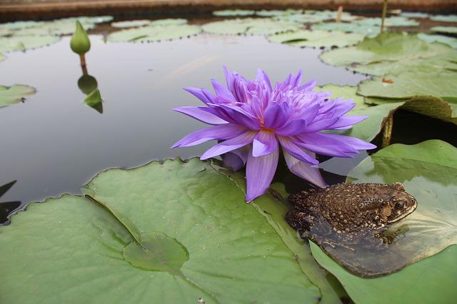 Frog, Toad, Water Lily, Purple, Pond
