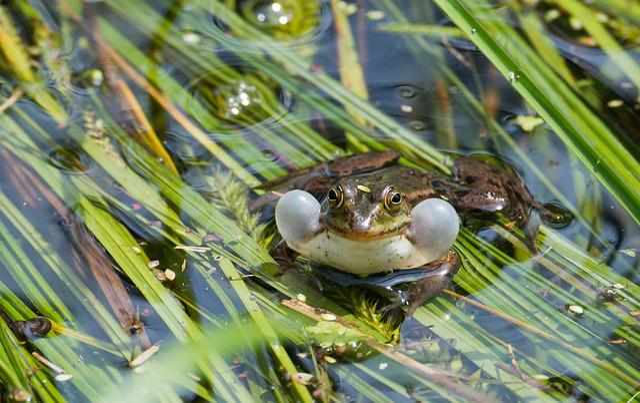 Frog, Water Frog, Ranidae, Austria, Altenrhein, Nature