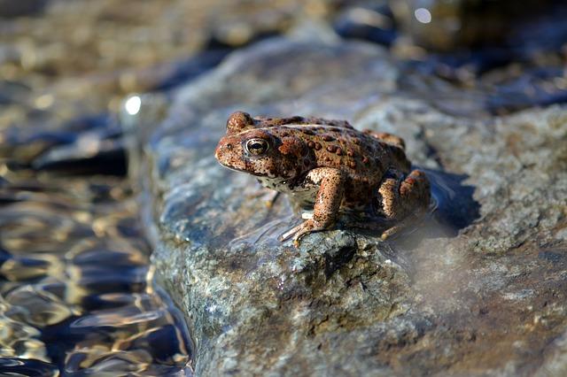 Frog, Log, Water, Wild, Reptile, Rocks