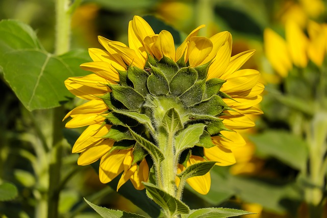 Sun Flower, Flower, Flowers, From The Rear, Evening Sun