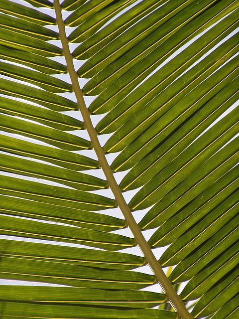 Palm, Frond, Leaf, Exotic, Palm Tree, Palm Fronds
