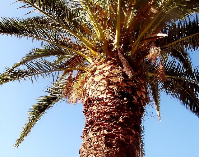 Palm, Date-palm, Palm Tree, Frond, Spain, Phoenix