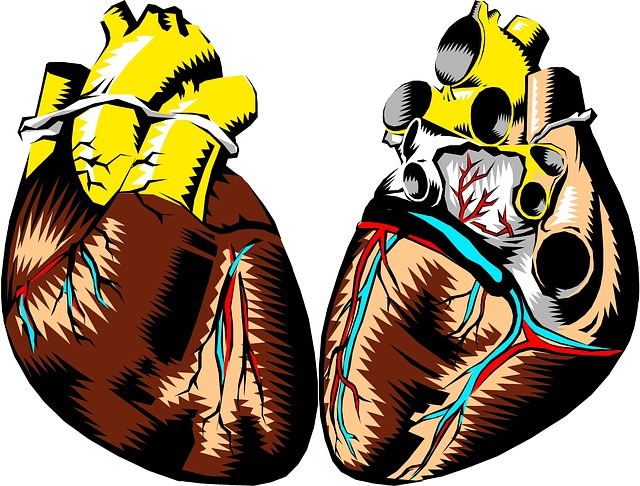 Heart, Front, Back, Anatomy, Organ