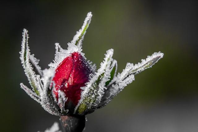 Rose, Vinter, Blomst, Snø, Enkelt Blomst, Frosset, Is