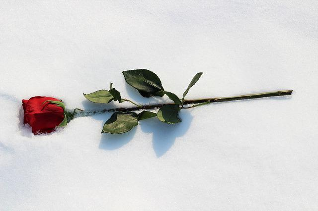 Red Rose In Snow, Colorful, Love Symbol, Frost, Winter