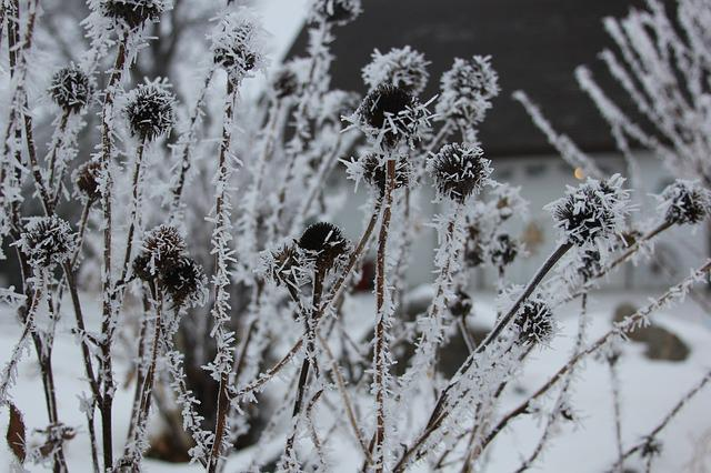 Seed Pods, Frost, Garden