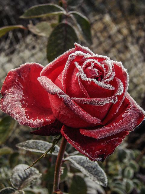 Rose, Red, Flower, Frost, Ice