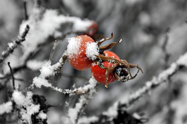 Sweetbrier, Nature, Icing, Winter, Snow, Frost