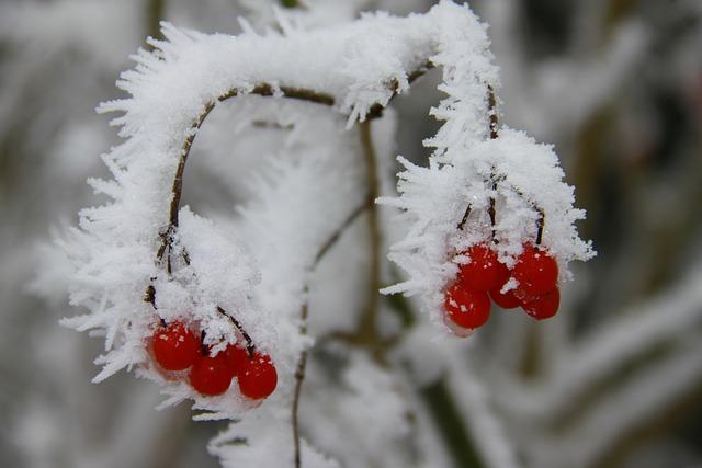 Winter, Frost, Nature, Season, Snow, Fruits