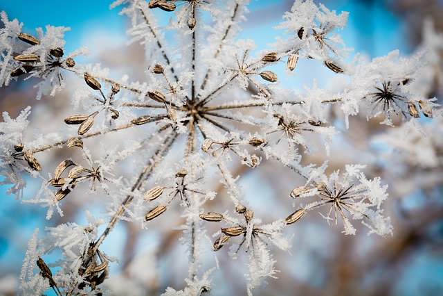 Frost, Ice, Ripe, Seeds, Umbel, Frozen, Eiskristalle