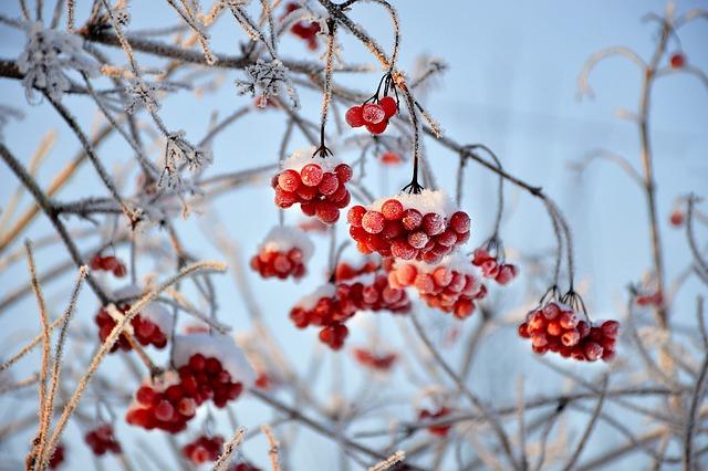 Viburnum, Red Berry, Winter, Snow, Frost