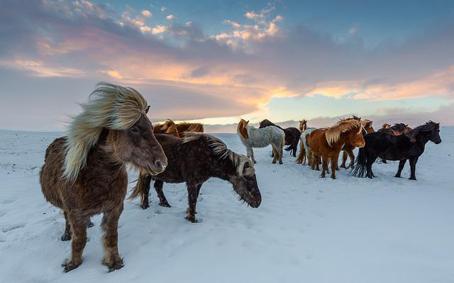 Iceland Horses, Winter, Frosty, Winidg, Snow