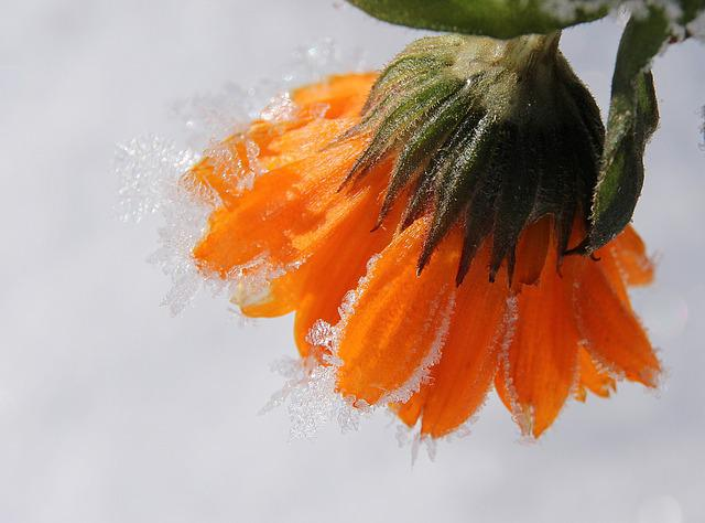 Marigold, Blossom, Bloom, Gardening, Frozen, Frost