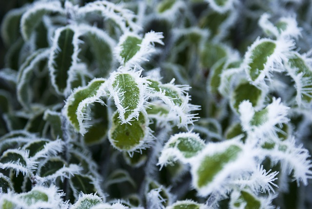Leaves, Frozen, Winter, Frost, Nature, Plant, Ice