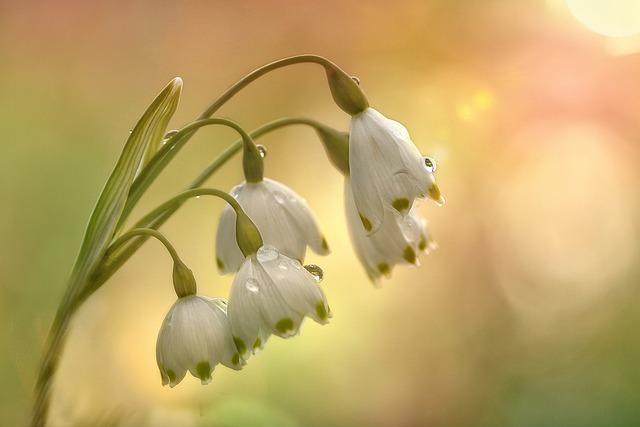 Fruehlingsknotenblume, Spring, Flower, Snowflake