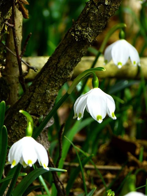Snowflake, Fruehlingsknotenblume, Spring, Spring Flower