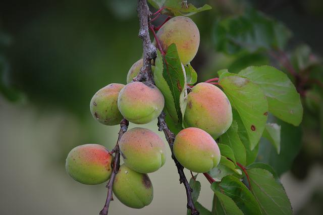 Apricots, Fruit, Nature
