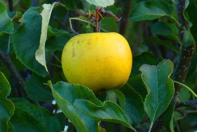 Apple, Tree, Fruit, Autumn, Yellow, Vitamins, Healthy