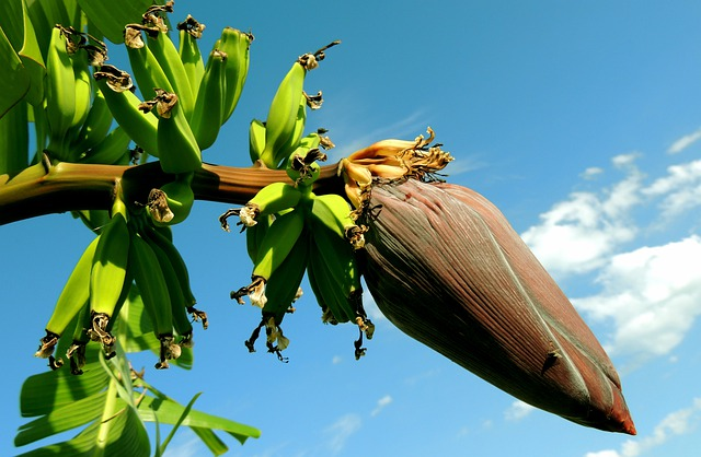 Banana, Banana Tree, Bunch Of Bananas, Fruit, Plants