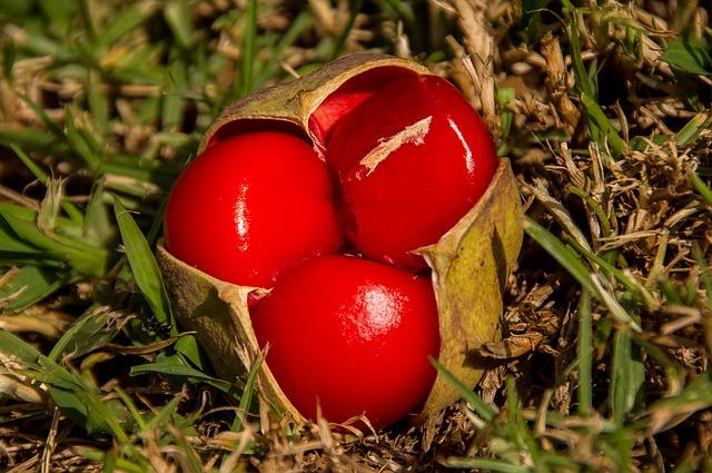 Red, Fruit, Berries, Tamarind, Small Leaf Tamarind