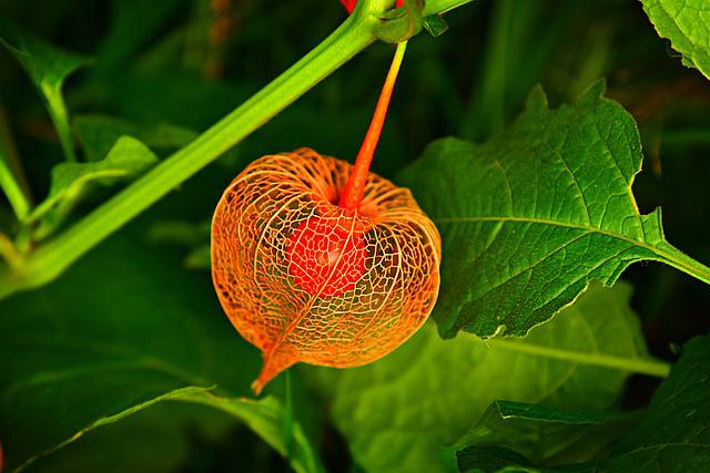 Chinese Lantern, Plant, Husk, Fruit, Berry, Physalis