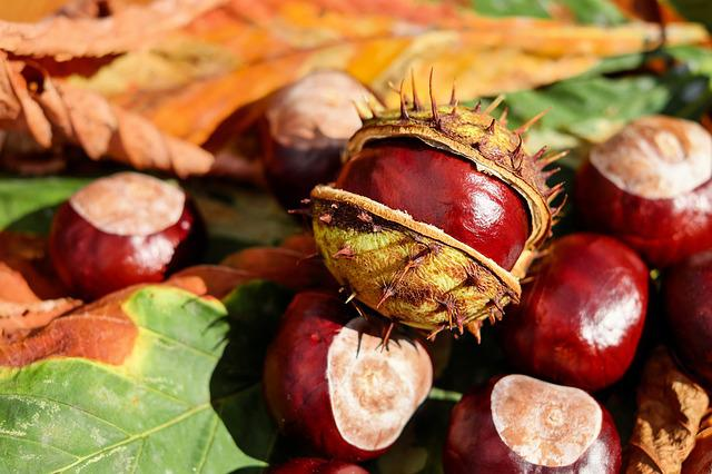 Chestnut, Buckeye, Open, Fruit, Red, Shiny, Autumn