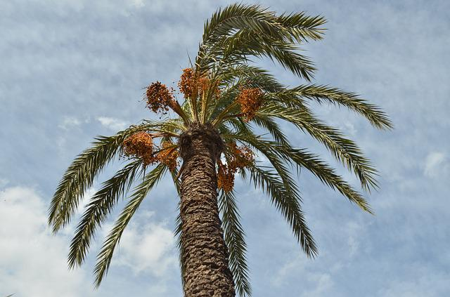 Palm, Date-palm, Palm Tree, Date, Fruit