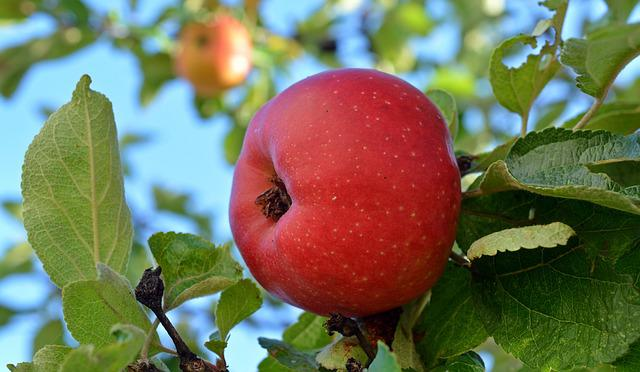 Apple, Danziger Kant Apple, Fruit, Delicious, Fruits