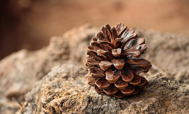 Pine Cones, Pine, Fruit, Forest, Nature, Dry, Desert