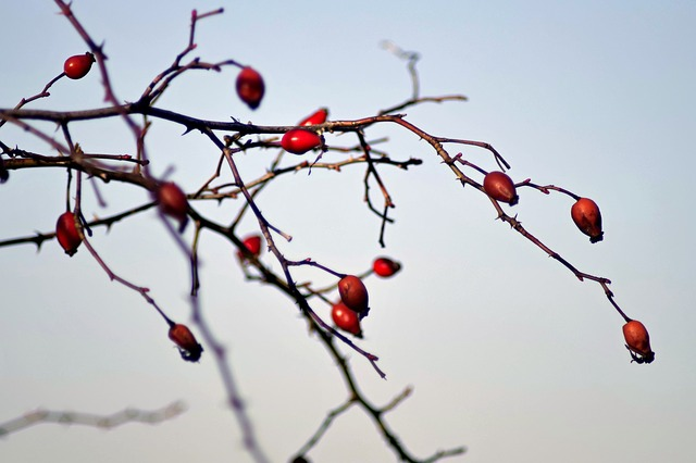 Wild Rose, Bush, Plant, Fruit, Frozen, Frost, Ice
