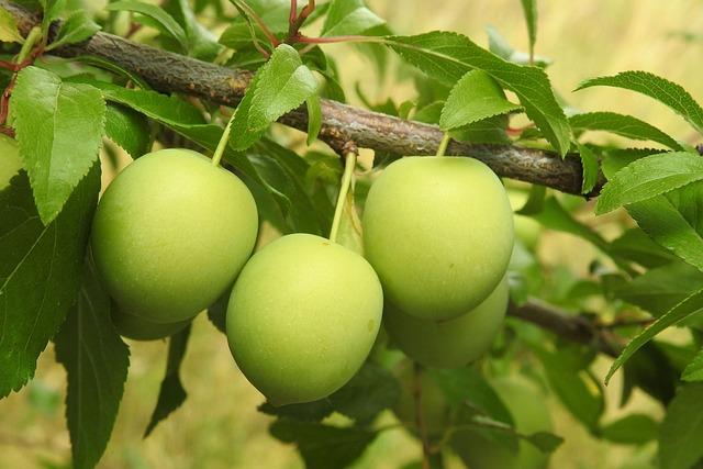 Cherry Plum, Yellow Plums, Fruit Tree, Branch, Fruit