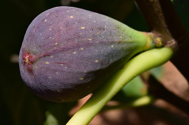 Fig, Blue Fig, Fig Tree, Fruit, Real Coward, Fruits