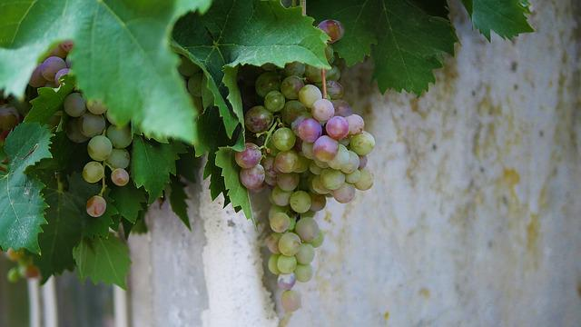 Vine, Grape, Wine, Winery, Fruit, Leaf, Vineyard