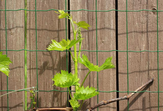 Grapes, Creeper, Spring, Young Leaves, The Grain, Fruit
