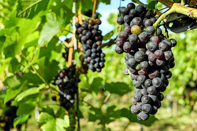 Grapes, Fruit, Vine, Grapevine, Winegrowing
