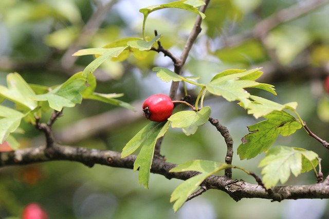 Rose Hip, Nature, Fruit, Autumn, Herbal, Natural, Green