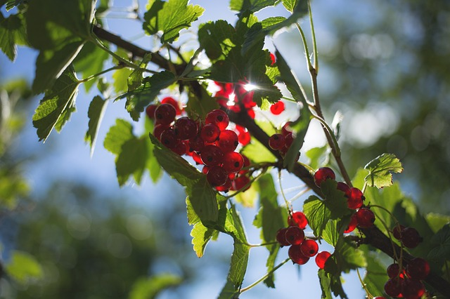 Nature, Currant, Fresh, Fruit, Fruits, Green, Healthy