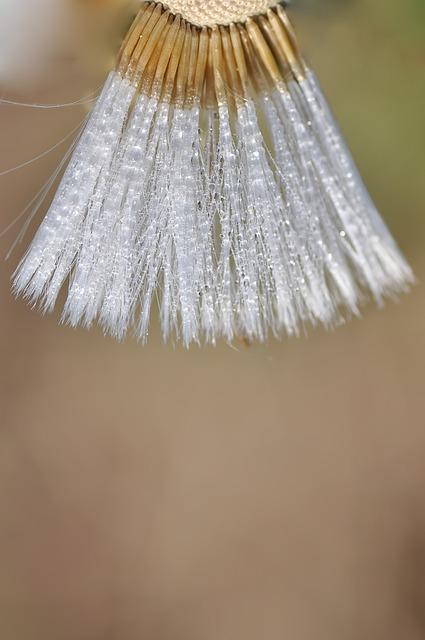 Dandelion, Semen, Macro, Mature, Fruit, Owocostan