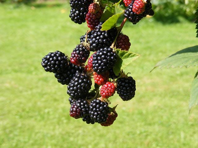 Nature, Blackberries, Fruit, Garden, Health, Fruits