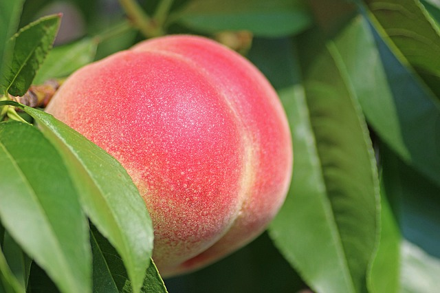 Peach, Fruit, Ripe, Peach Tree, Nectarine, Green Tree